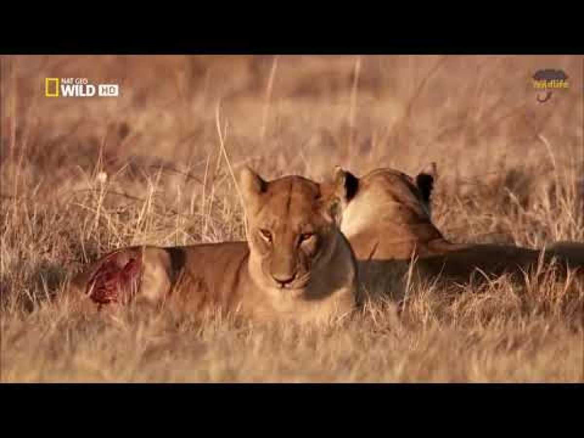 Savannah Life Wild Africa - National Geographic Documentary 2019