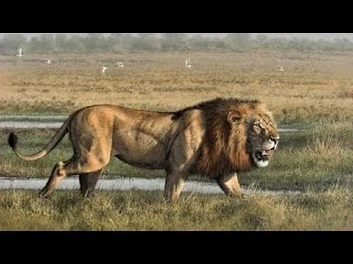Animals Documetary Lion's Most Dangerous Enemy - Lion's Documentaries
