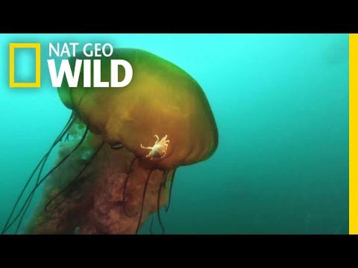 This Jellyfish Contains an Ecosystem | Nat Geo Wild