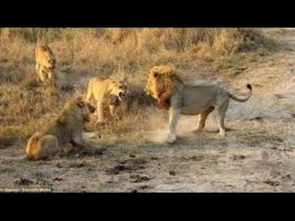 The power of the Black clan-Lion Fight to Death for Territory-National Geographic[Full Doc