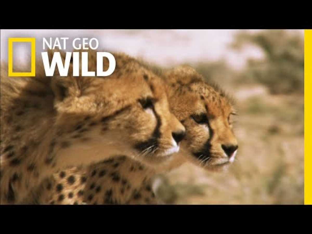 Cheetah Cubs on the Hunt | Nat Geo Wild