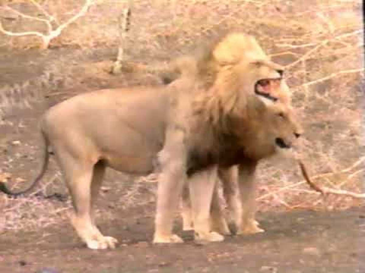 The Untamed Wild - Royal Blood: Life and Death in an African Lion Pride | VHS rip | 1993