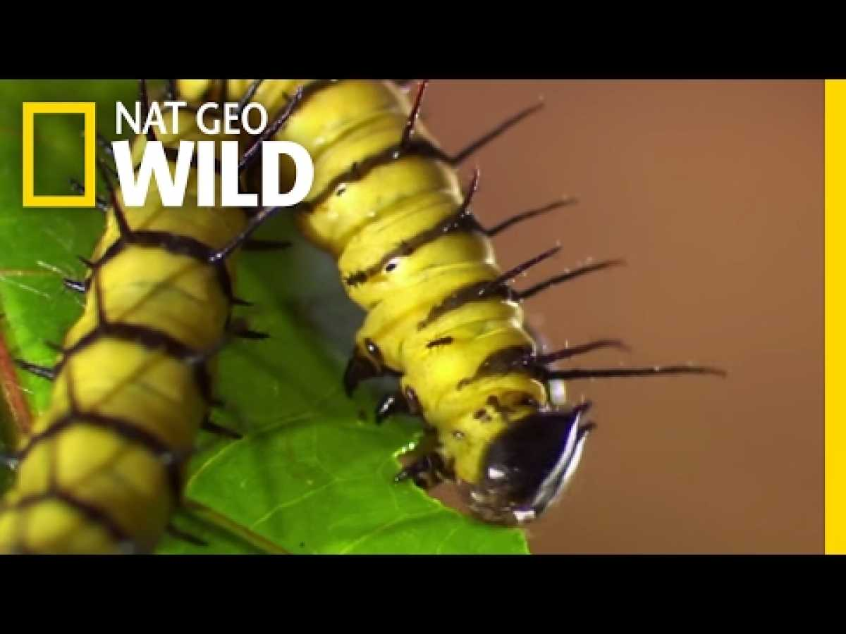 Caterpillars' Relationship with Cyanide-laced Plants | Destination WILD