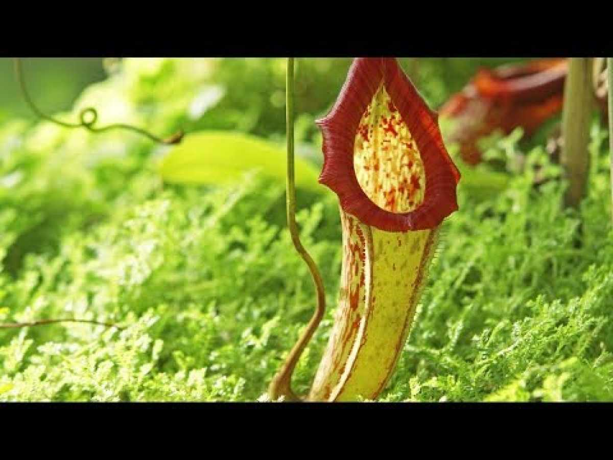 Carnivorous Plants | The Private Life of Plants | David Attenborough | Wildlife | BBC Studios