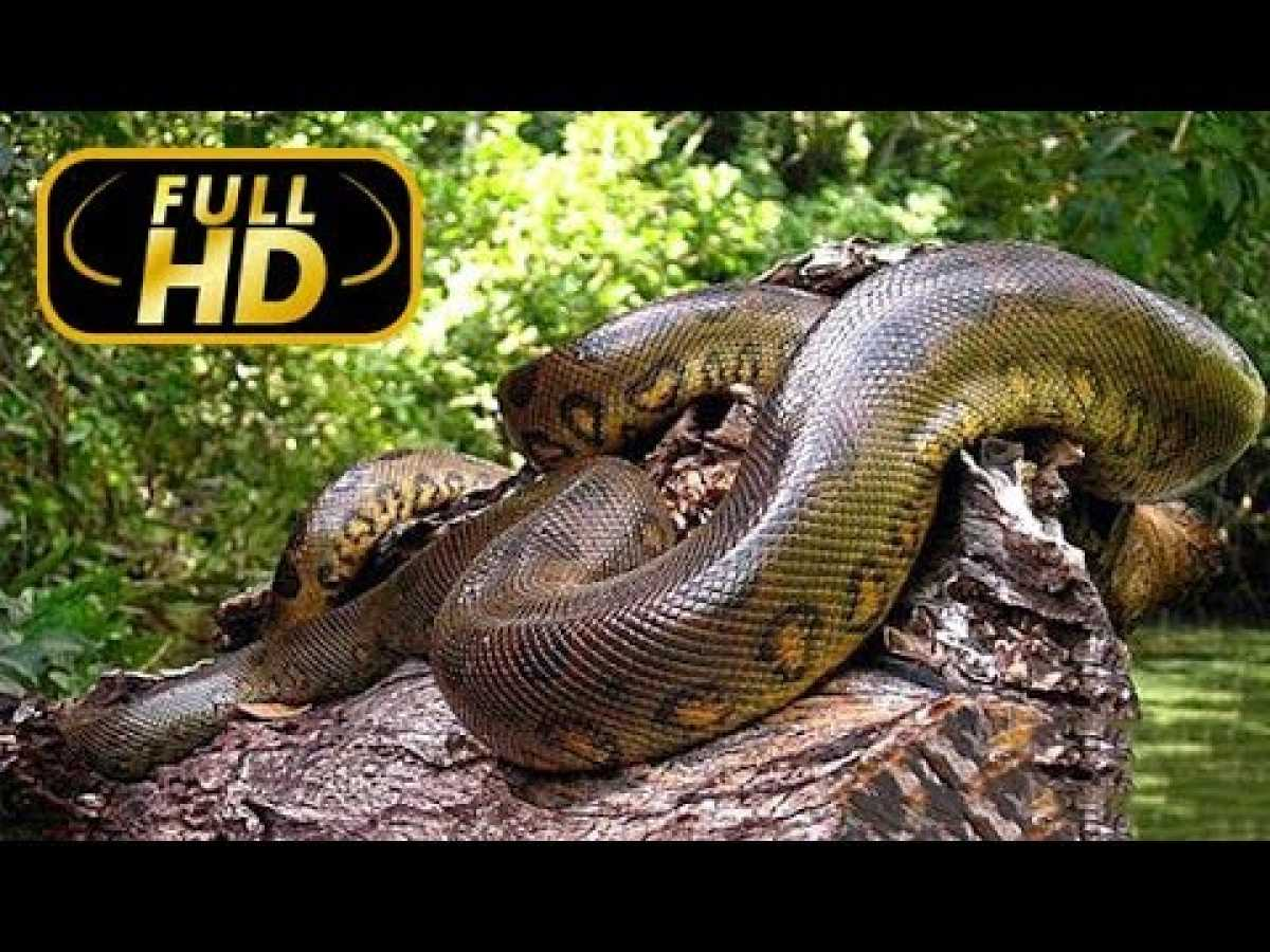 Biggest Snake. Giants the World of Animals / FULL HD - Documentary on Amazing Animals TV