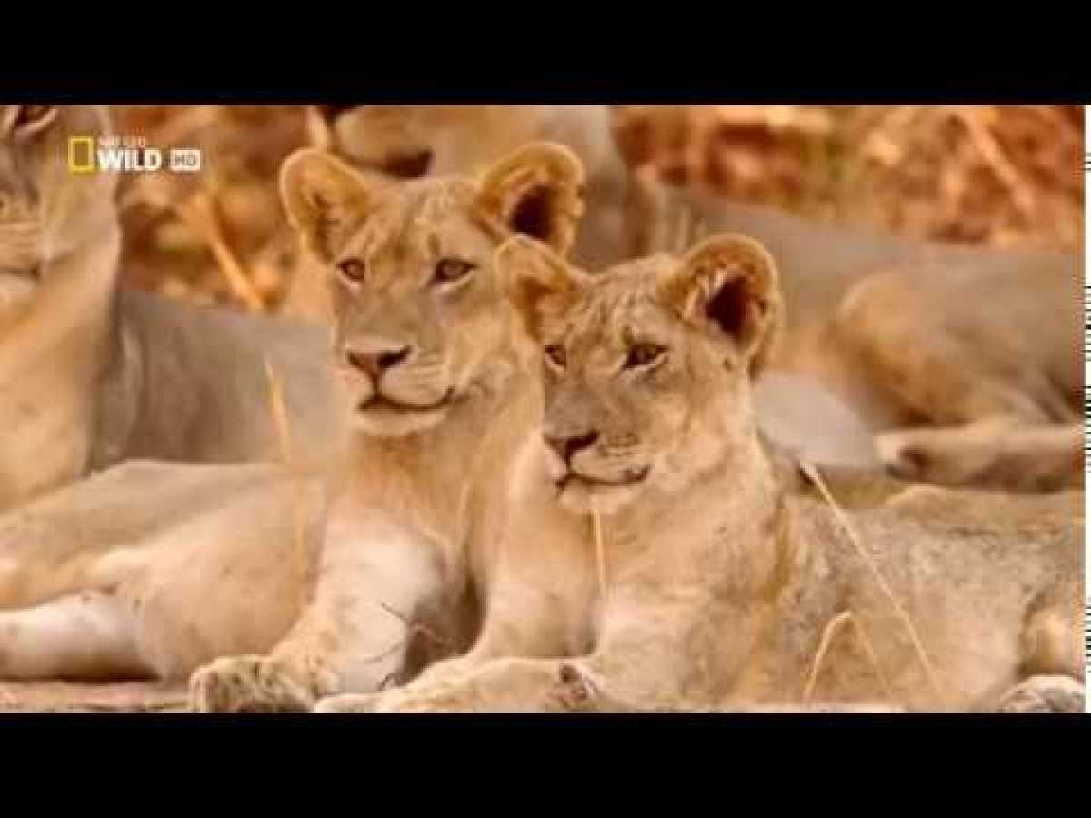 NSEFU Kings of Lions Documentary 2018 National Geographic Lions Documentary 2018YouTube