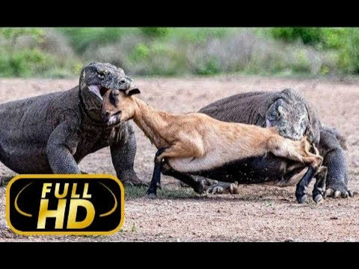 THE MOST DANGEROUS ANIMALS. ASIA / FULL HD - Documentary Film on Amazing Animals TV