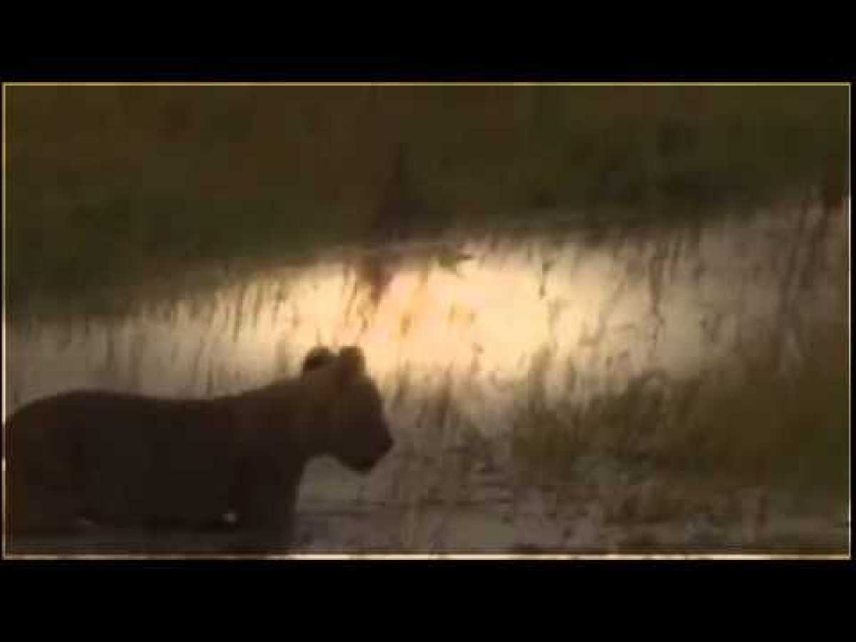 lions documentary - hungry lion eats and destroys hyena - national geographic full