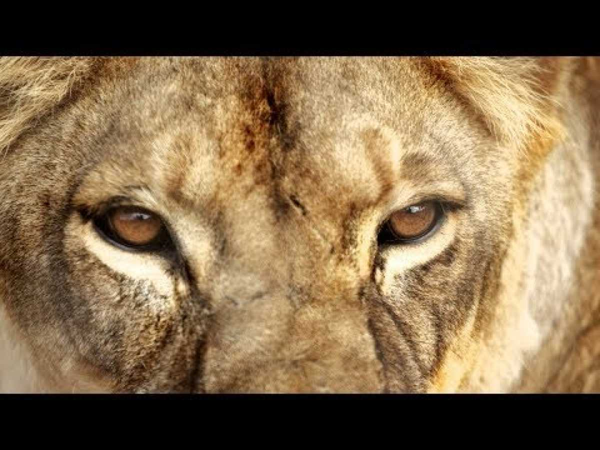 Killer Lions Attacks - BBC, Nat Geo and Discovery Documentaries