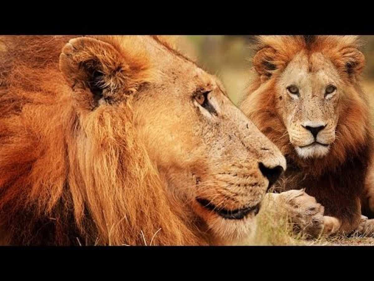 Botswana Lion Brotherhood - 720p NGW