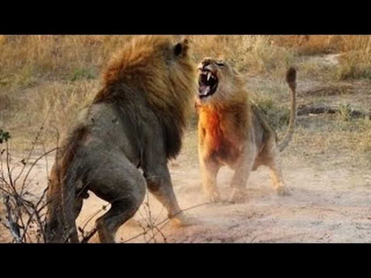 NATURE DOCUMENTARY 2017: Lions Fighting to Death For Territory (Nature/Wildlife Documentary)