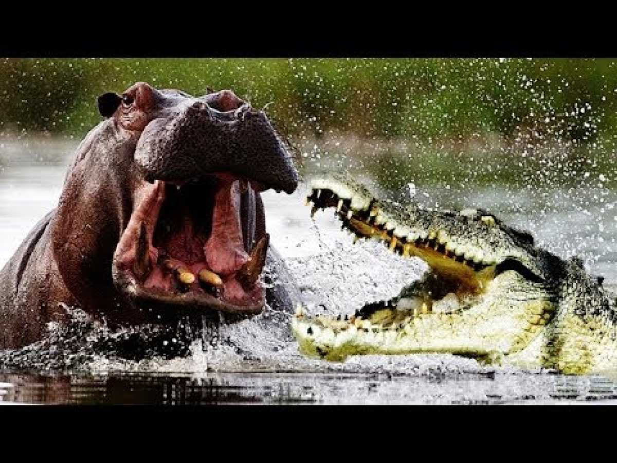 Hippo Attacks - BBC, Nat Geo and Discovery Documentaries