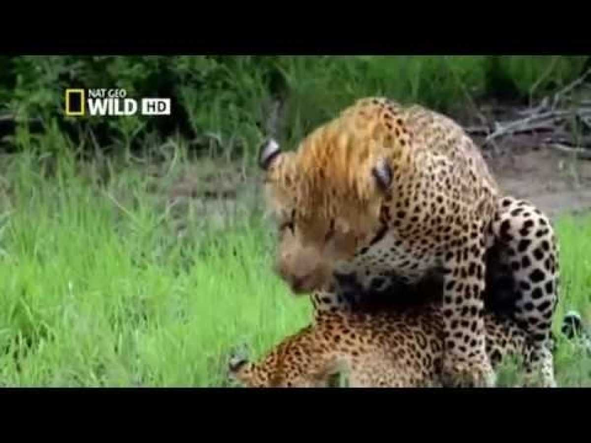 AFRICA'S DEADLIEST - Cats Attacks - Nat Geo Wild HD ~..