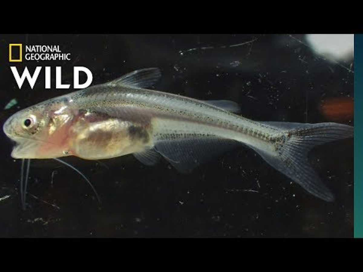 Searching for Giant Catfish Babies on the Mekong | Nat Geo Wild