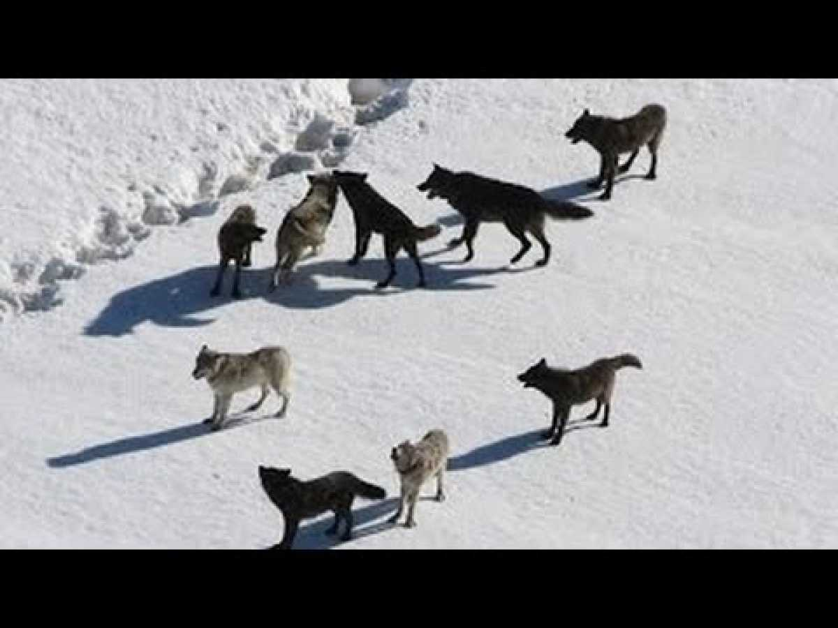 NATURE DOCUMENTARY 2017: Wolf Pack Full Documentary