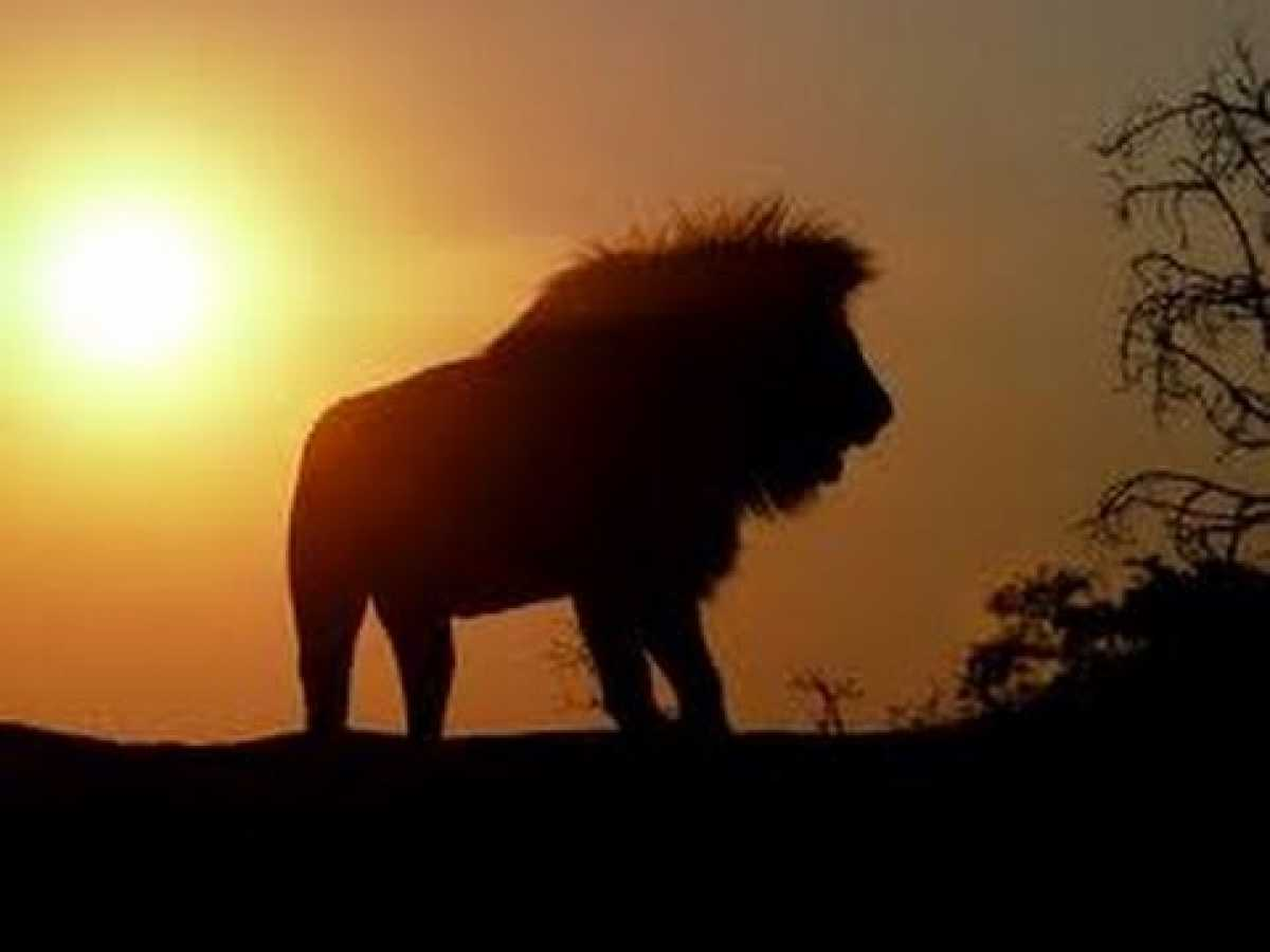 Lions Documentary National GeographicThe Kingdom of Lion