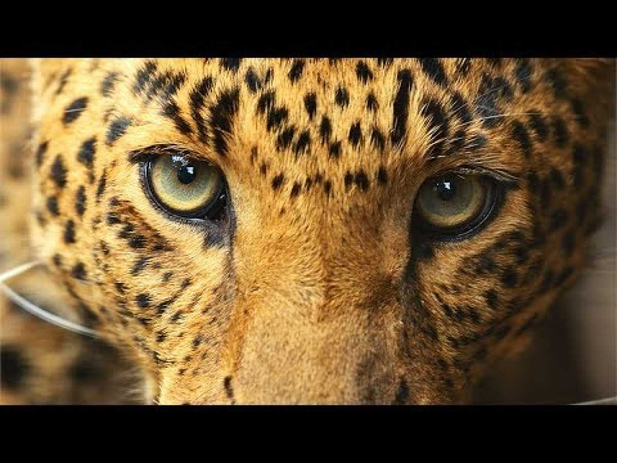 The Man-Eating Leopard - BBC, Nat Geo and Discovery Documentaries