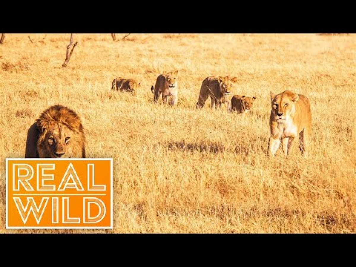 Austin Stevens Adventures - Killer Lion Stakeout [Documentary Series] | Real Wild