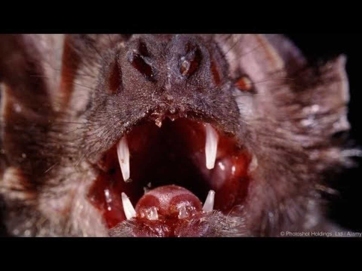 Killer Amazon Bats - Amazing Austin Steven's Wildlife Documentary