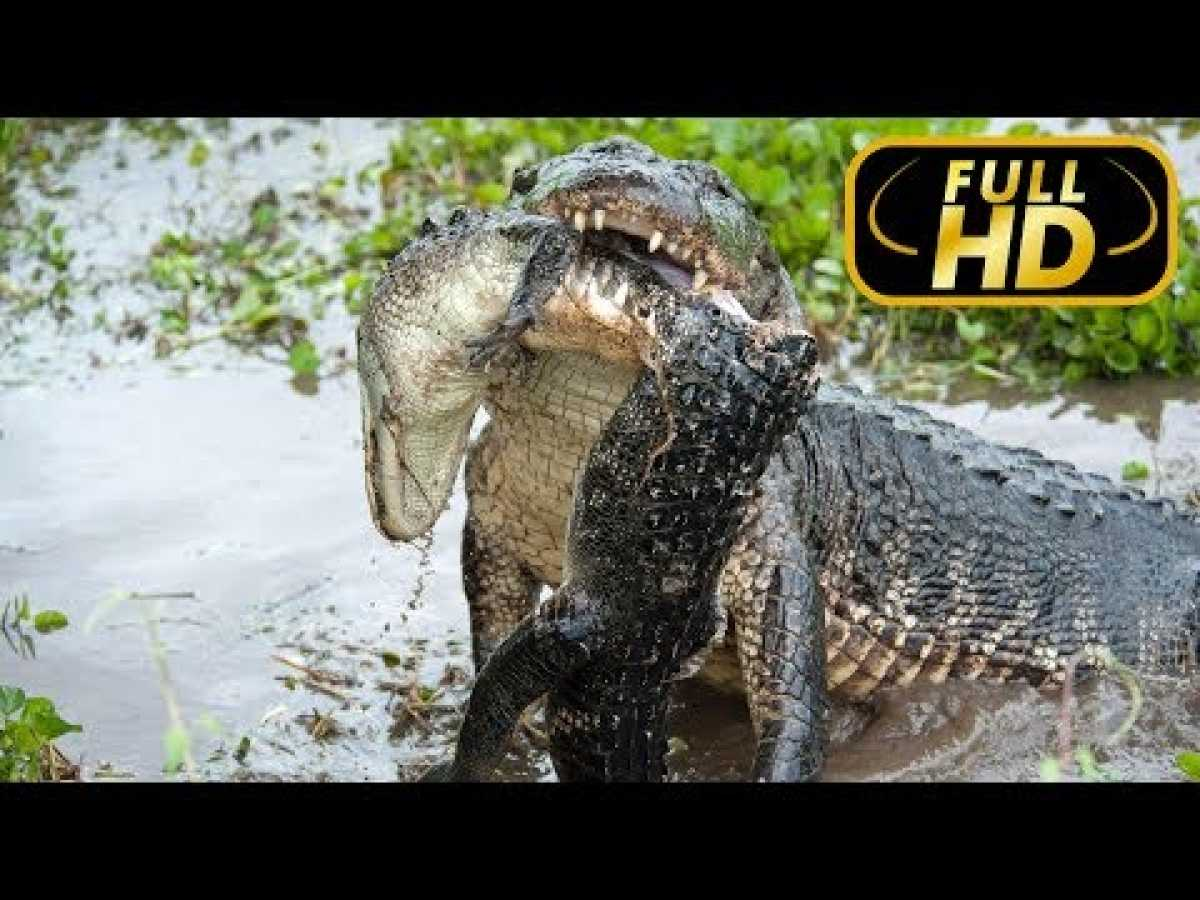 Amazonia's Giant Jaws / FULL HD - Documentary Films on Amazing Animals TV