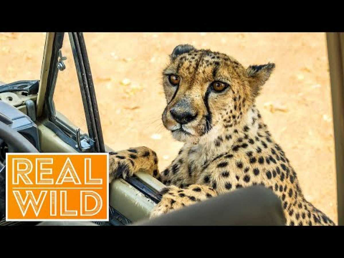 Caught In Act [Wild Animal Documentary] | Real Wild