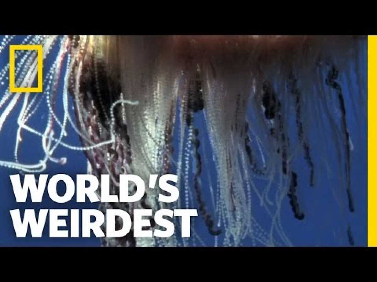 Portuguese Man-of-War | World's Weirdest